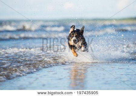 happy appenzeller dog running on the beach