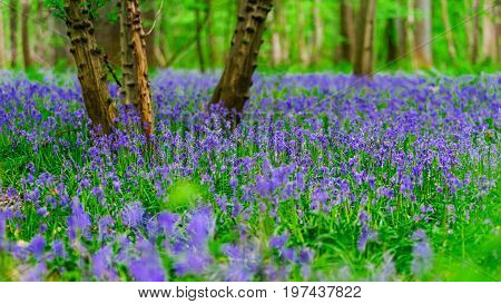 Magic Blue Forest Near Bruxelles, Springtime Flowering