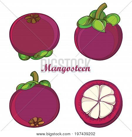 Vector set with outline Purple Mangosteen or Garcinia mangosteen fruit and half fruit isolated on white background. Exotic tropical plant in contour style for summer design or fresh food menu.