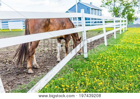 Closeup of brown horse by white fence in farm paddock grazing on grass with many yellow dandelion flowers