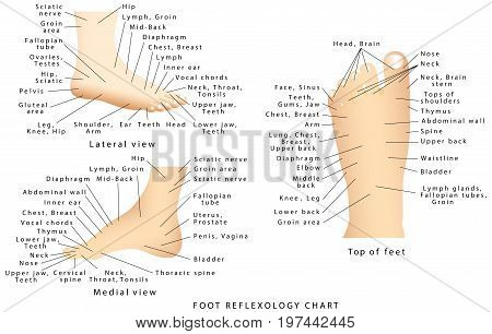 Reflexology chart. Reflex zones of the feet - side views - top of feet - accurate description of the corresponding internal organs and body parts on white background