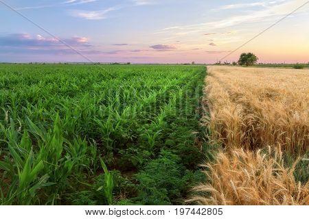 two-tone field corn wheat / bright photo field of Ukraine sunset