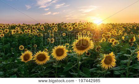 sunflower field / bright summer photo field of Ukraine