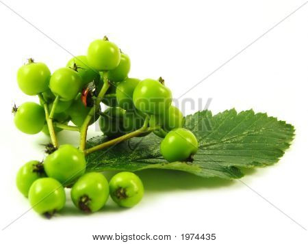 nature: ladybug on green twig on white background poster