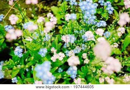 brunerra flowers in bloom close up shallow focus
