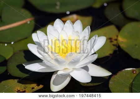 White flower water plants (water Lily Nymphaea) from Delta Okavango.