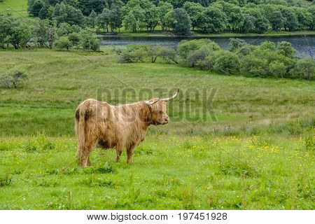 Shaggy haired and long horned Highland cow stands in a grassy field in Scottish Highlands with loch in background