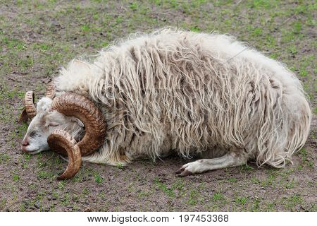 A male scots sheep, Ovis aries, sleeping on a meadow