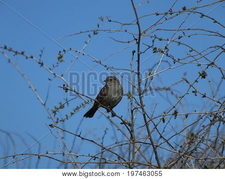 Hedge sparrow perched in a tree against a blue sky