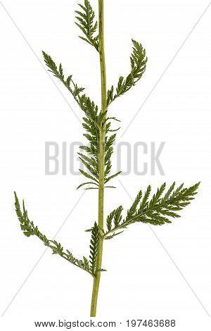 Leaf Of Yarrow, Lat. Achillea Millefolium, Isolated On White Background