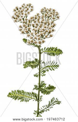 Flowers Of Yarrow, Lat. Achillea Millefolium, Isolated On White Background