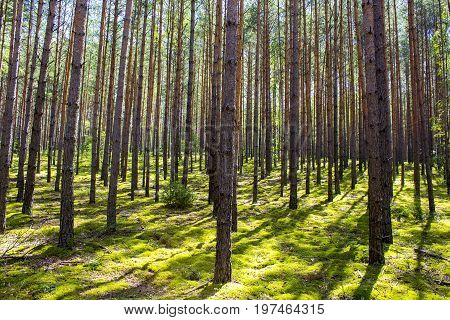 The sun is in the forest. Bright green moss. Shadow of the trees on the moss. Summer Beautiful forest. Forest landscape. Straight trees pine trees.