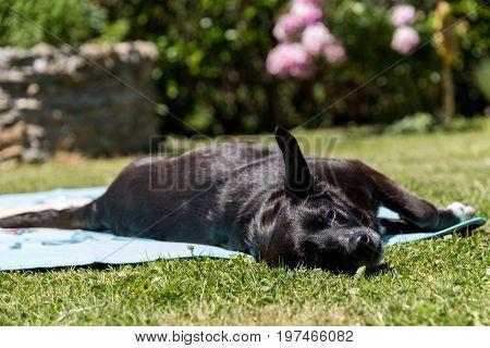 Black labrador retriever lies lazy on a bath towel in the sun