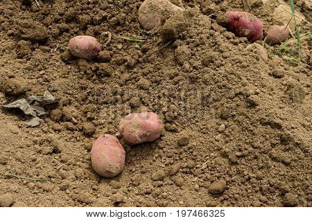 Some potatoes lying on top of the ground after being dug from the soil