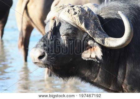 Bull Cape Buffalo (Syncerus caffer) at the waterhole Kruger national Park. South Africa