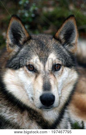 Siberian hunting dog (sled dog) Laika Siberia Russia