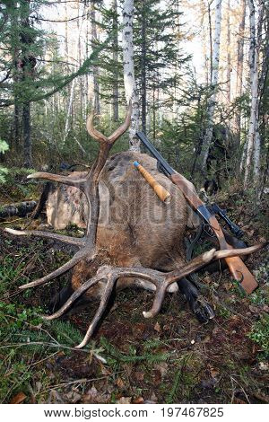 Hunting trophy Siberian deer with a gun and call. Irkutsk region Russia.