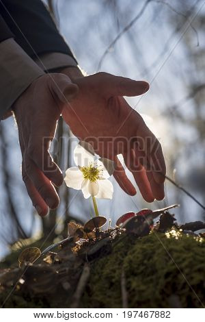 Conceptual image of male hands making a protective gesture over white Hellebore flower in the woods backlit with a sun.