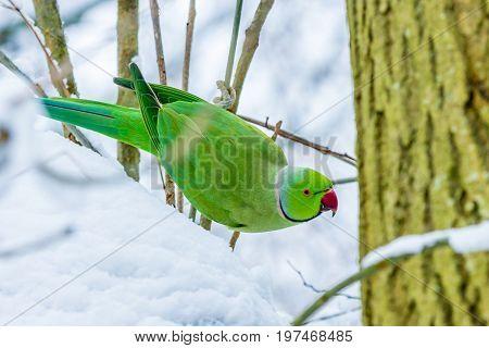 ring neck parakeet during snowy period in European winter