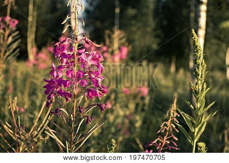 beautiful flowers grow in summer in the field at sunset with backlighting