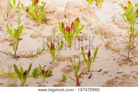 Summer. Sandy quarry. In small green plants against the background of sand. Ukraine. Kiev region.
