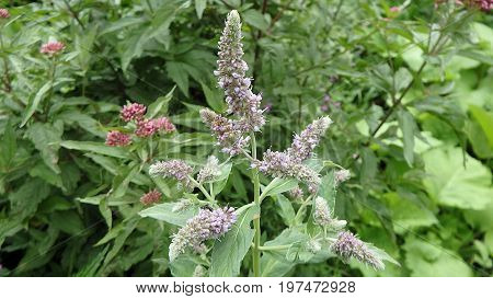 Flower of mint , (Mentha longifolia) , Flower - mentha