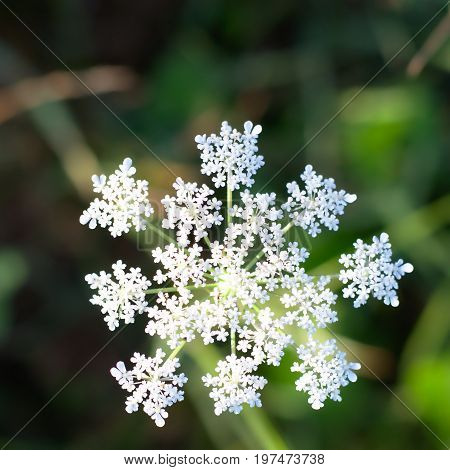 White Flower resembling a snowflake found in the wild