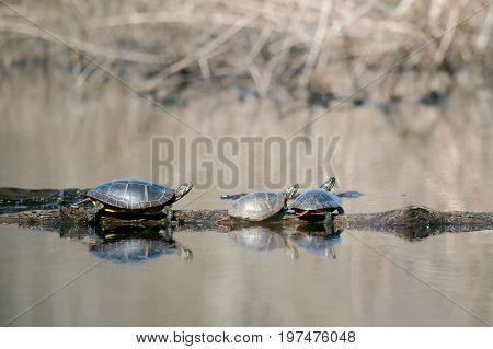 Painted Turtles basking in the sun on a cold spring day
