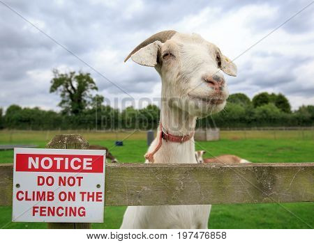 Nanny goat standing next to a no climbing on the fencing notice