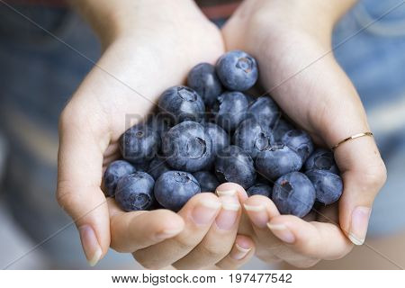 Blueberries woman's hands holding bog whortleberry berries