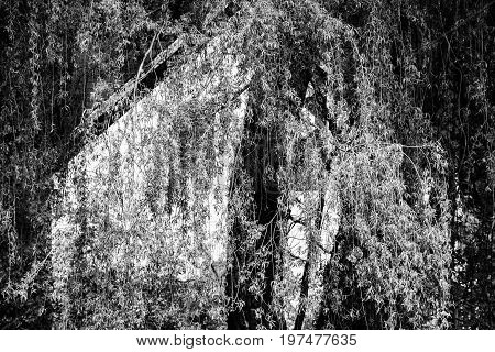 weeping willow tree and wood abstract in black and white