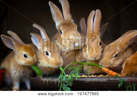 Rabbit and small rabbits eat the carrots