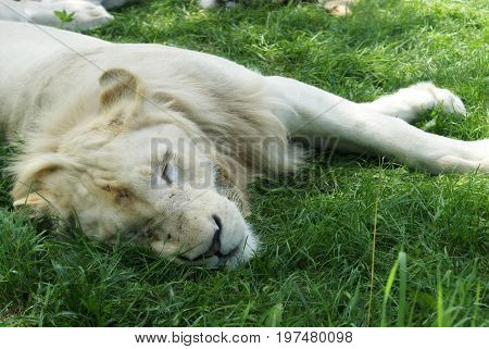 A closeup view of a Pride of rare White Lions resting in the shade of the daytime heat.