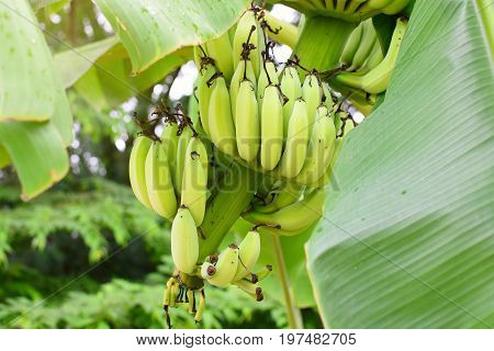 Banana tree with a bunch of bananas with sunlight. Cultivated banana