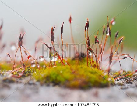 wet green moss sphagnum and seeds of moss in drops of water from rain
