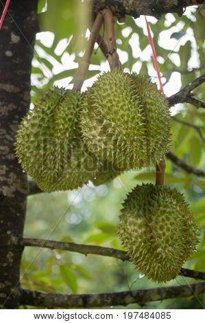 Durian fruit / on the market in Thailand