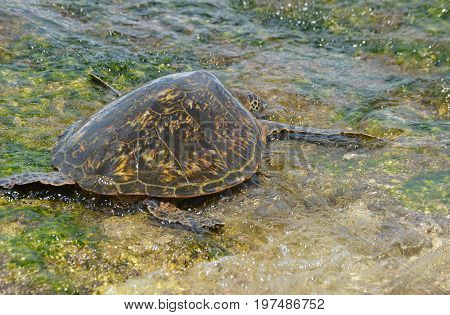 sea turtle laying on seaweed rocks facing away