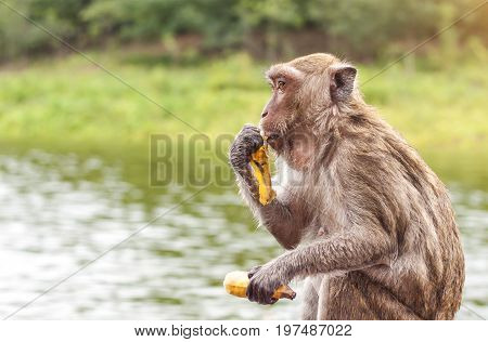 Monkey sitting and eating a banana with lake nature background Thailand.