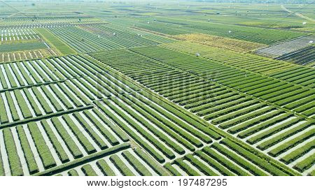 Beautiful aerial view of rows of red onion farmland with green leaves and water irrigation. Shot in Brebes Central Java Indonesia