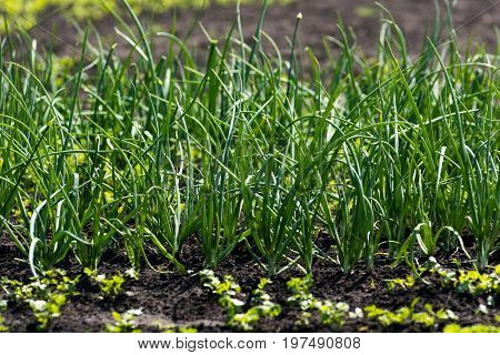 Green onions grow in the garden .