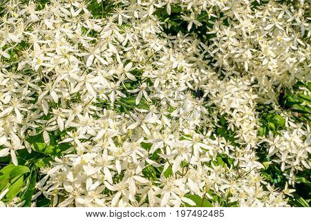Beautiful Flowers Of Clematis Paniculata