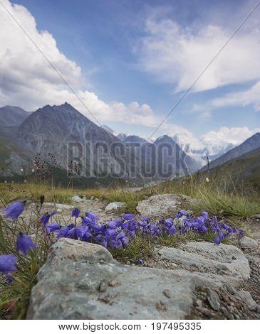 Blue Bellflowers, Pass Kara-turek, Mountain Altai, Russia