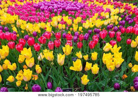 Field Of Colorful Tulips. Scagit Valley Tulip Festival In Washington.