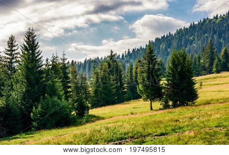 Spruce Forest In Summer Landscape