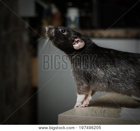Animal gray rat close-up sitting on a table