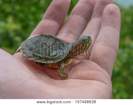 Small turtle on a hand looking away and with leaves on the background