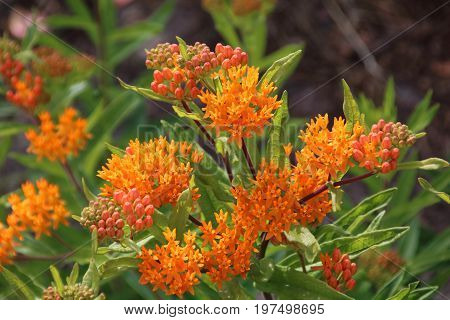 Asclepias Tuberosa On Butterfly Weed.