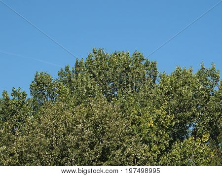 Poplar (populus) Tree Over Blue Sky