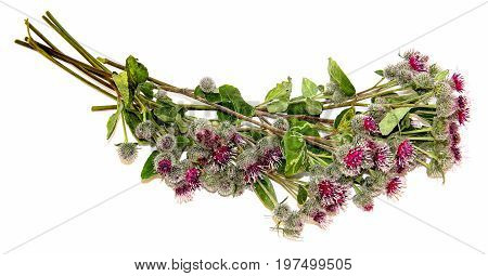 Blooming Pink Flowers Thorny Thistle Bouquet On White