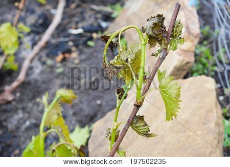 Grapes frost damage. Frost Grape by slight frost winter injury.